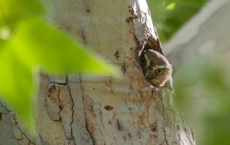 A forest owl in a tree cavity.